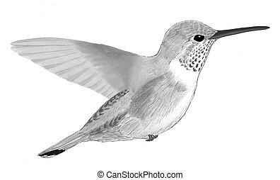 Broad-tailed Hummingbird - female Selasphorus platycercus