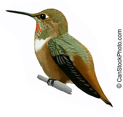 Rufous Hummingbird - female Selasphorus rufus