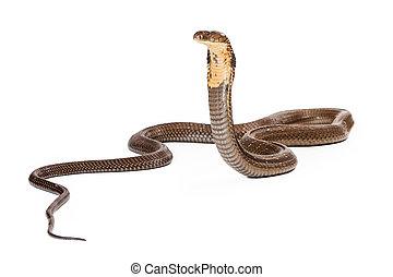 koenig, Kobra, schlange, schauen, zu, der, Seite,