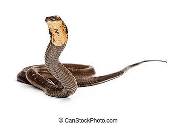 koenig, Kobra, schlange, bereit, zu, Streik,