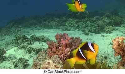 Clown Anemonefish in Coral Reef, Red sea