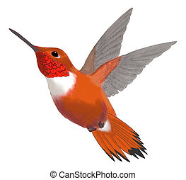 Rufous Hummingbird - male Selasphorus rufus