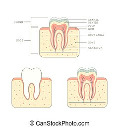 human tooth anatomy, medical teeth illustration