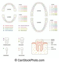 tooth anatomy chart, - human tooth anatomy chart, diagram...