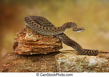 Twin-Spotted Rattlesnake On Top of Rock - Crotalus pricei,...