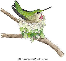 Annas Hummingbird - female on nest Calypte anna