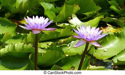 lotus flowers on lake