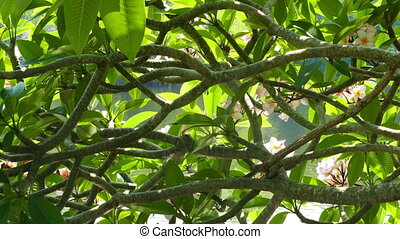 glare from water on branches of flowering plumeria