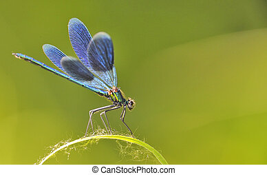 the blue dragonfly sits on a grass