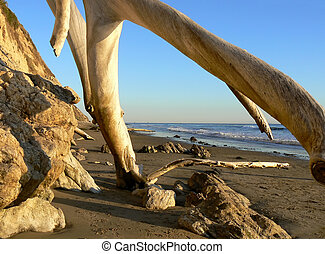 Old tree trunks at beach near Santa Barbara, California, USA