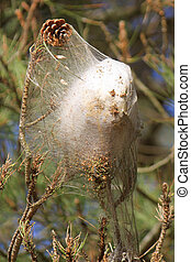 Cocoon - Caterpillar cocoon processionary in the pines and...
