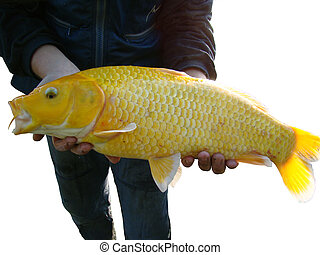 Koi yellow Carp - Yellow Carp isolated on white background