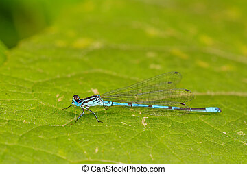 Blue dragonfly sitting on green leaf