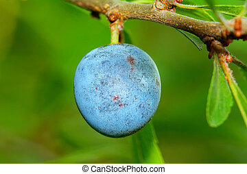 Blue berries - Blue fruit on a branch with blurred...