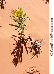 Desert Flower - A yellow flower growing in the sand of the...