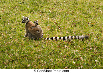 Maki family - Mother and baby ring-tailed lemurs (Lemur...
