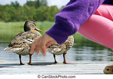 Little girl with ducklings - Little girl with mallard...
