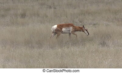 Pronghorn Antelope Doe - a pronghorn antelope doe grazing on...