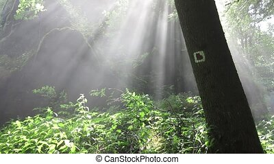 Mist And Sunbeams In The Forest