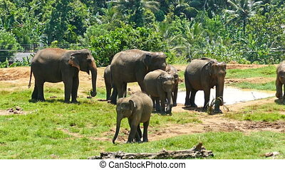 Elephants at Pinnawala in Sri Lanka - Elephants at the...
