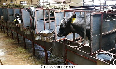 Black and white calves in a farm cowshed