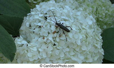 beetle flower - black beetle bug with long mustache walk on...