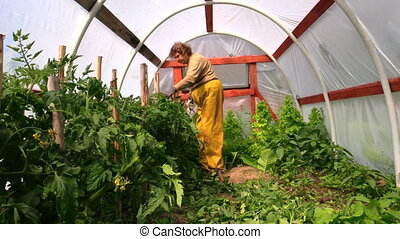 senior woman care plants - Senior woman tie tomato plants in...