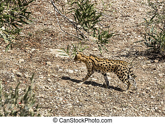 cheetah in the wild africa arnivore, cat