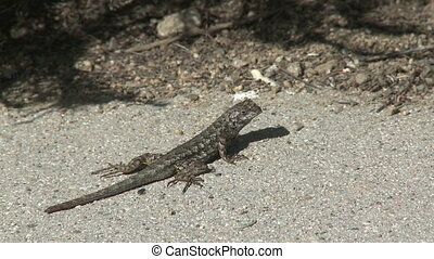 Lizard Scurries - A gecko crosses a road in Southern...