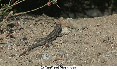 Lizard Fleeing - A gecko flees over a mound of dirt before...