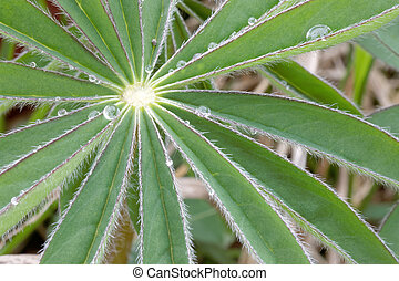 Lupine leafs and water drops - Closeup of lupine leafs and...