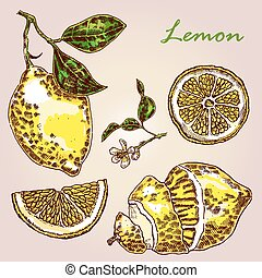 Collection of highly detailed hand drawn lemon. Fresh lemon vector illustration. Eco food set