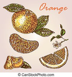Collection of highly detailed hand drawn orange. Fresh orange vector illustration. Eco food set