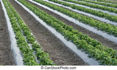 Agriculture strawberry plant field - Strawberry plants with...