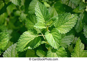 Lemon Balm Herb Plant