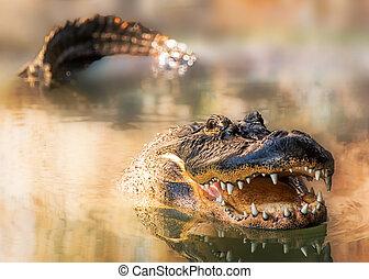 caimán, en, agua, con, dientes, y, cola,...