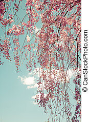 Weeping Cherry Tree - Toned image of weeping cherry tree...