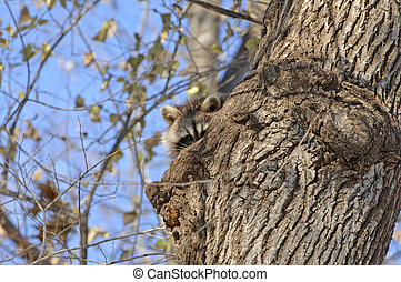 Racoon in tree with blue sky