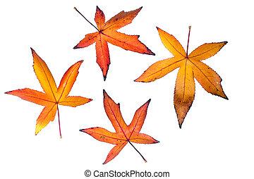 lautumn iquidambar leaves - vivid autumn liquidambar leaves...