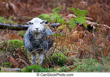 Herdwick sheep in bracken woodland
