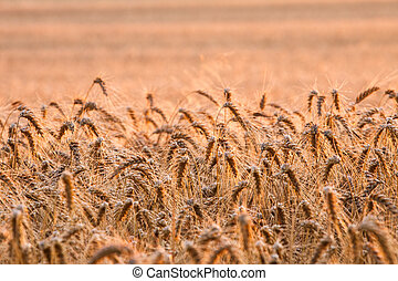 Wheat field in summer - Wheat field ready for harvest...