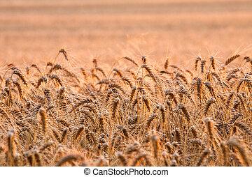 trigo, campo, em, verão,