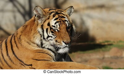 Bengal tiger portrait - Portrait of a Bengal tiger Panthera...