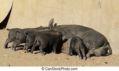 Pot-bellied pigs - A pot-bellied sow with a litter of cute...