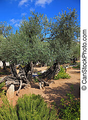 The old olive trees in Gethsemane - Location prayer of Jesus...
