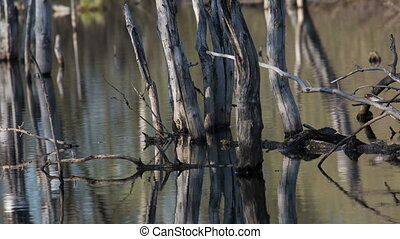 Marsh - swamp with dead trees in early spring