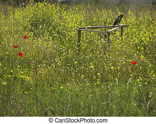 Poppies - Crow standing in rapeseed field with few poppies.