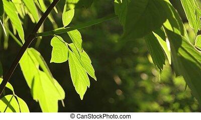 Fresh crisp green tree leaves backlit UHD 4K