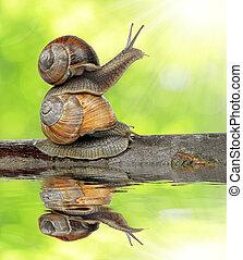 Garden snail Helix aspersa