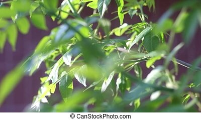 Macro of Fresh crisp green tree leaves backlit - Spring...